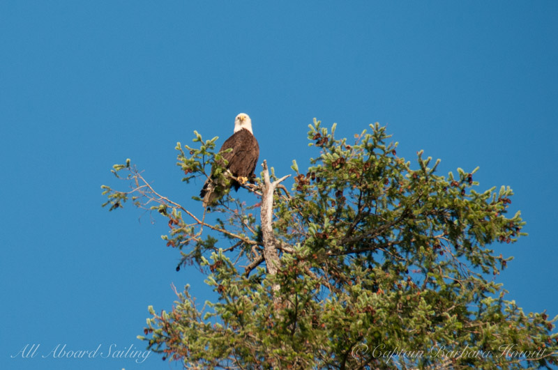 Bald Eagle watching us