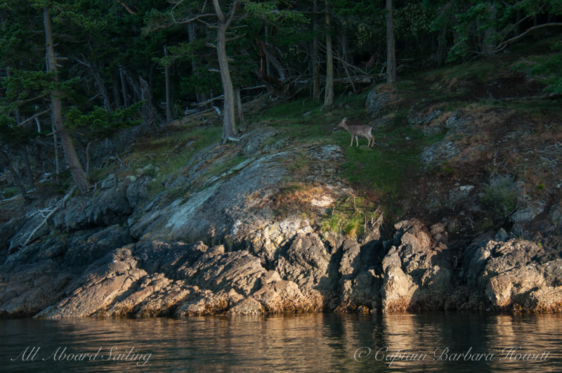 Black tailed deer on Shaw Island