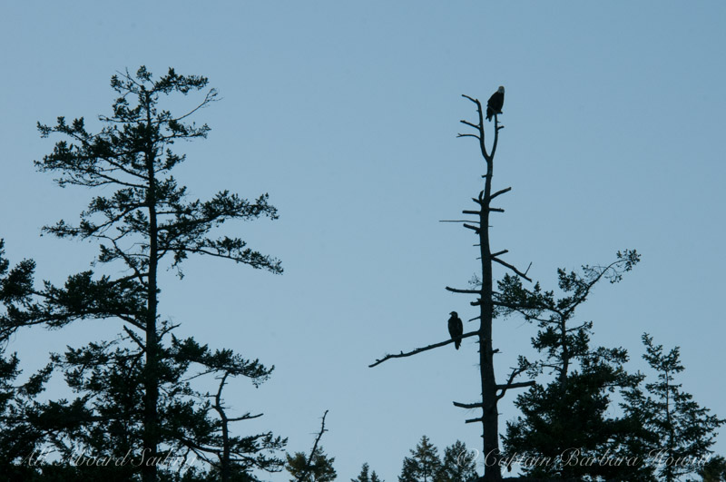 Bald Eagle Pair Silhouette