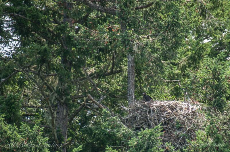 Bald eaglet in nest