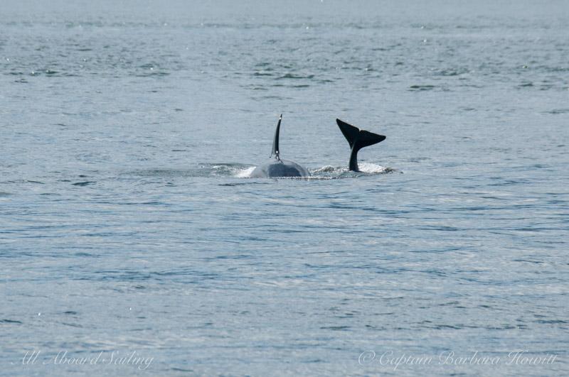 Playful orcas