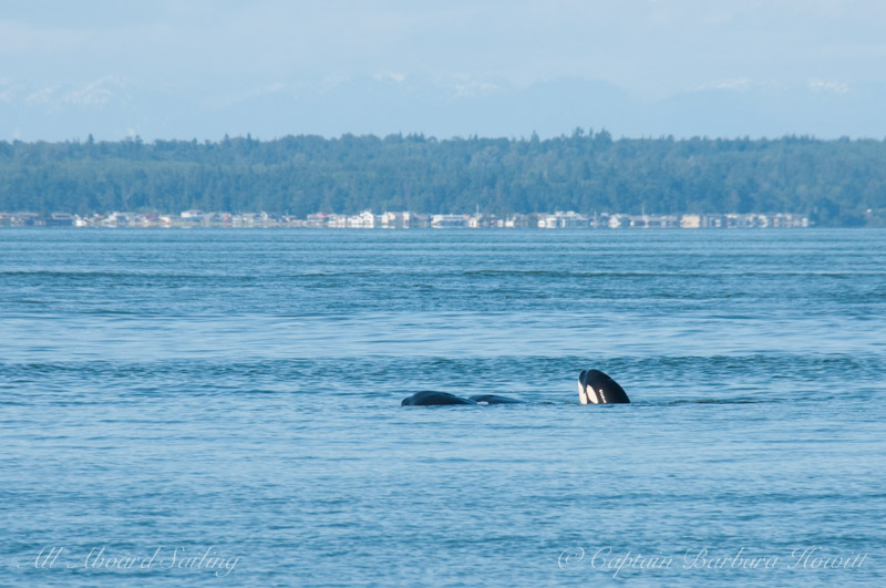 Orca cuddle puddle
