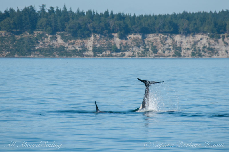 Orcas hunting a seal
