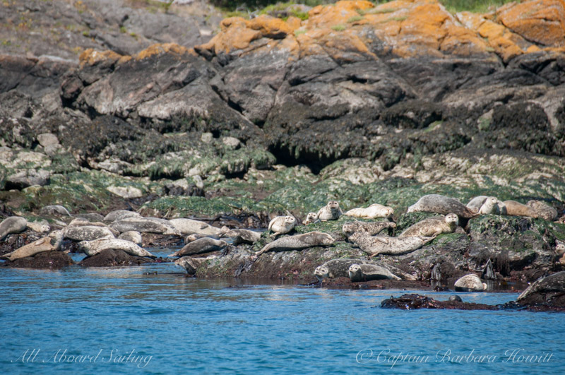 Many harbor seals hauled out at low tide