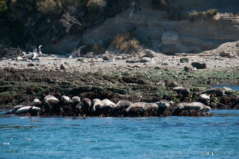 A resting line of harbor seals