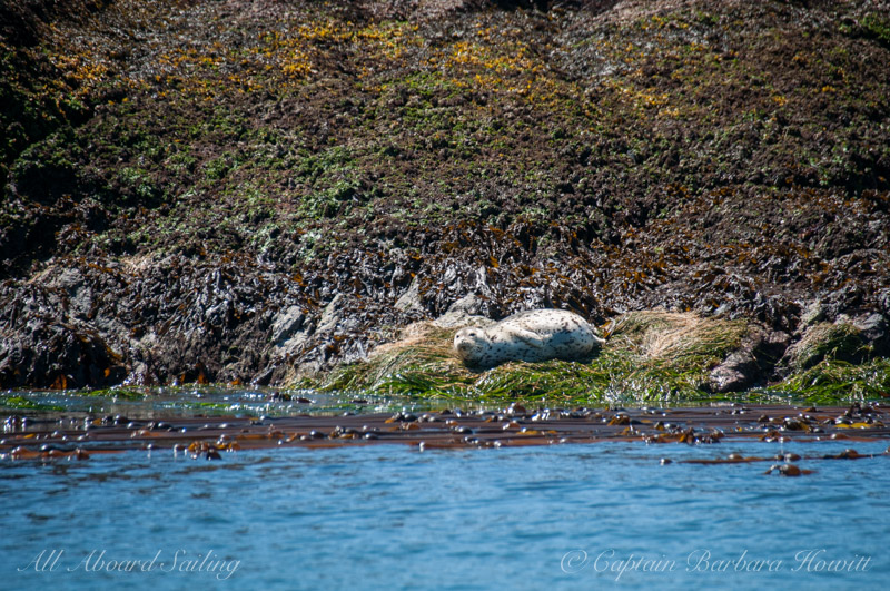 Harbor seal laying in eel grass