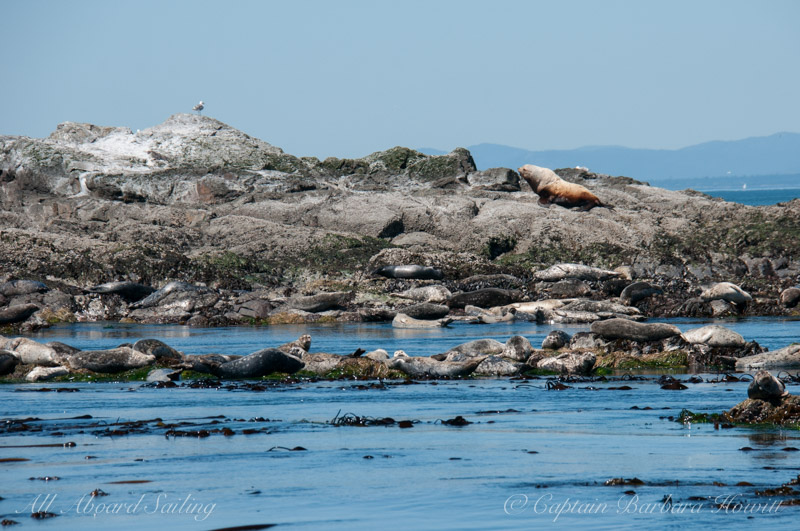 One steller sea lion bull on Whale Rocks. Lots of seals taking their place.