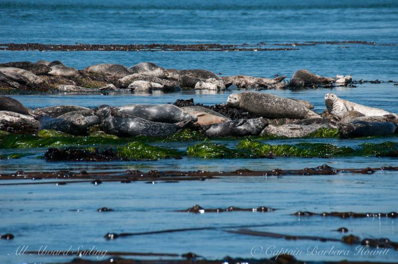 Harbor seals - Whale Rocks