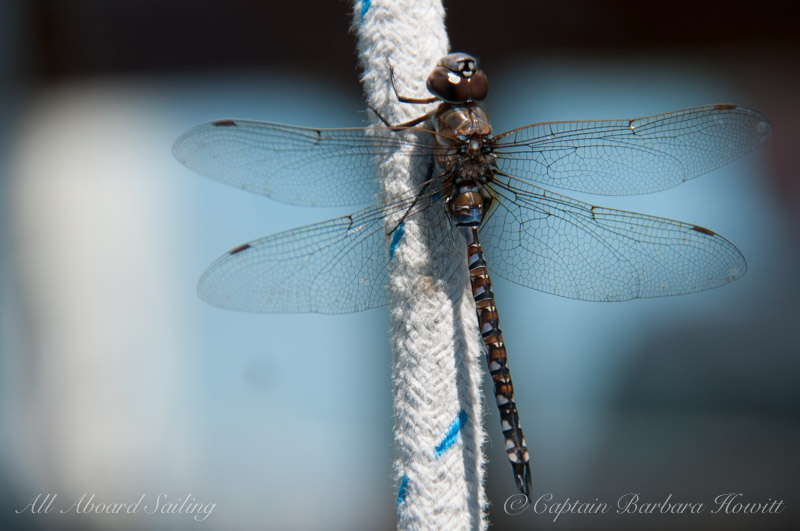 Dragonfly who joined the sail back to Long Island