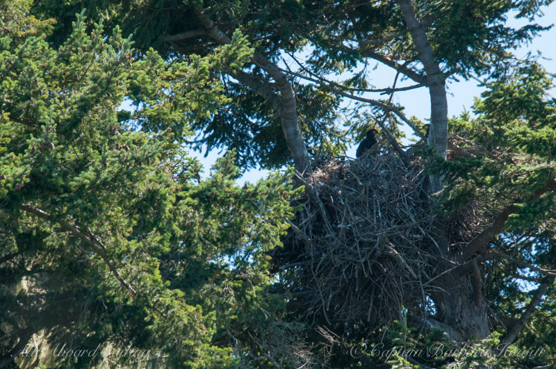 Two bald eagle chicks in the nest
