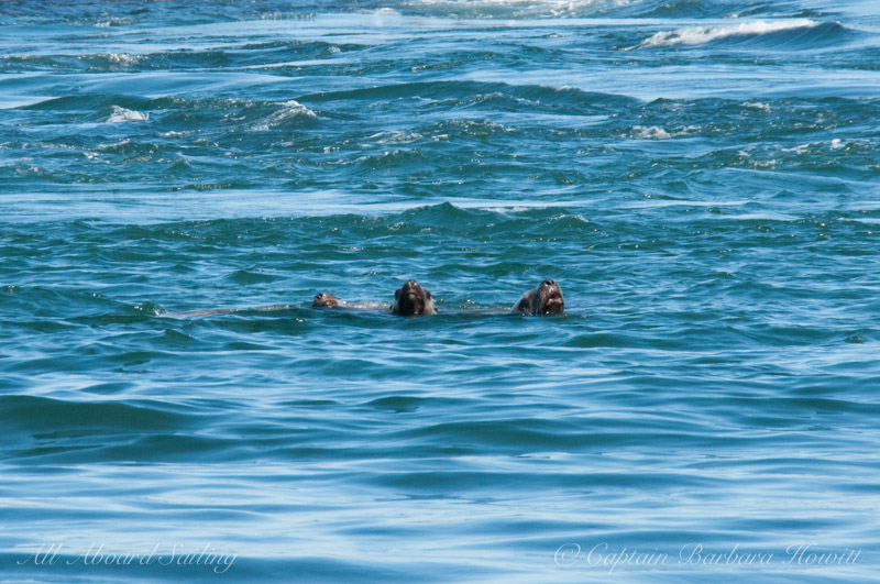 Sea lions hanging out in the water