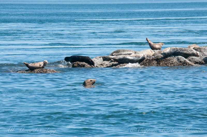 Young sea lion and many harbor seals