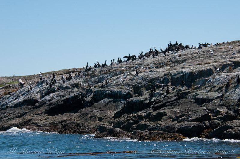 Cormorant colony on Goose Island