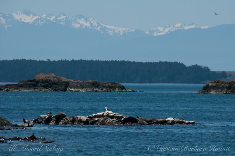 Harbor seals warming in the sun