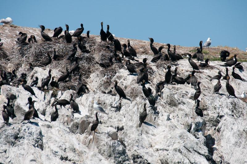 Cormorants nesting on Goose Island