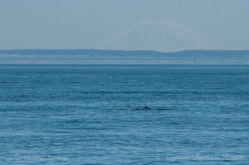 Minke whale headed for Mt Rainer