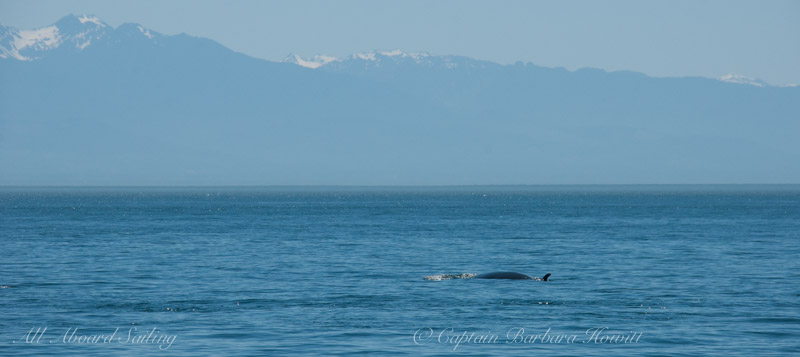 Minke whale and Olympic Mountains