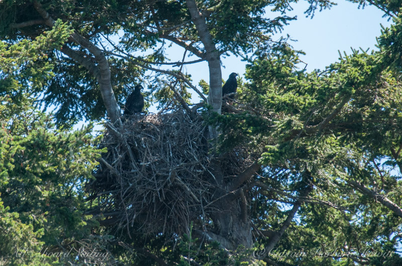 Two bald eagle chicks