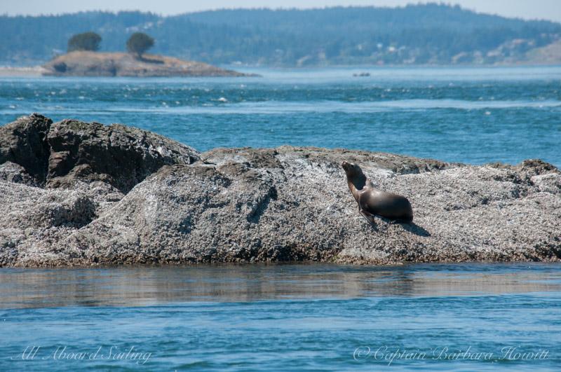 One lone steller sea lion on Whale Rocks