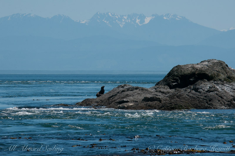 Steller sea lion and harbor seals