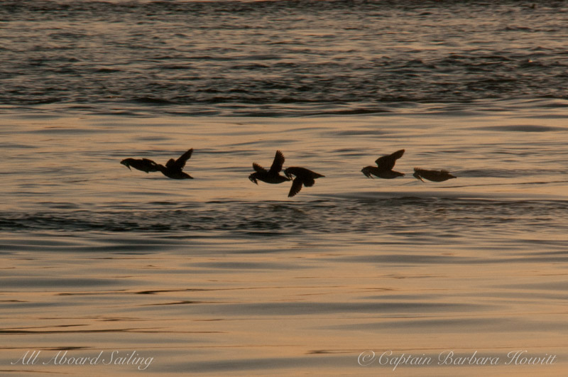 Rhinoceros Auklets flying with fish in their bills