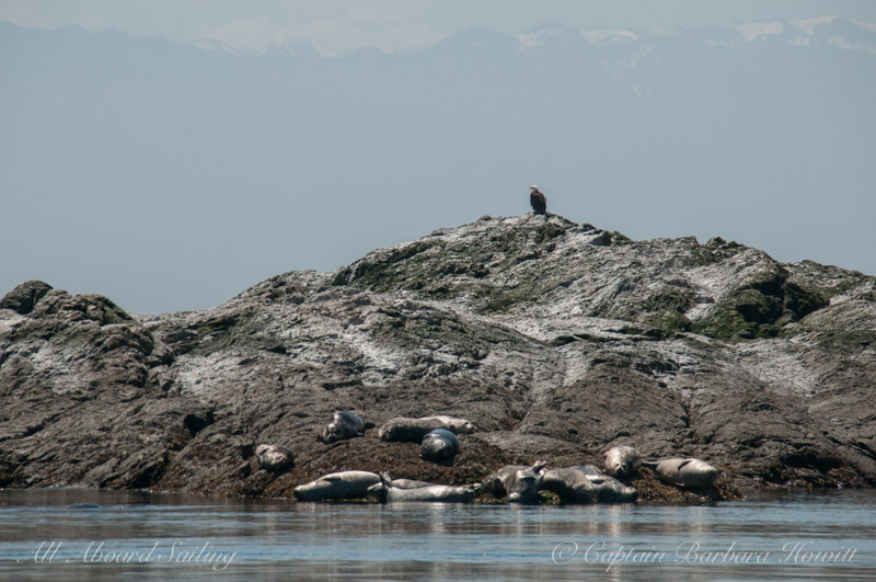 Harbors seals, bald eagle, Olympic Mountains