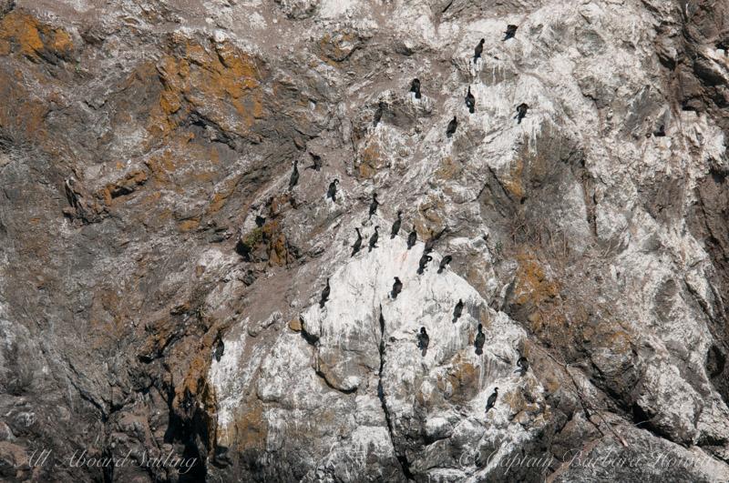 Cormorants at Kellett Bluff