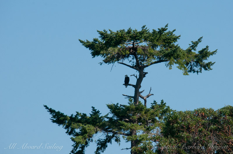 Bald Eagle sitting on his/her nest atop the tree