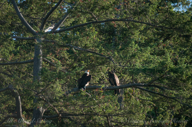 Adult and juvenile bald eagles (mother and chick?)