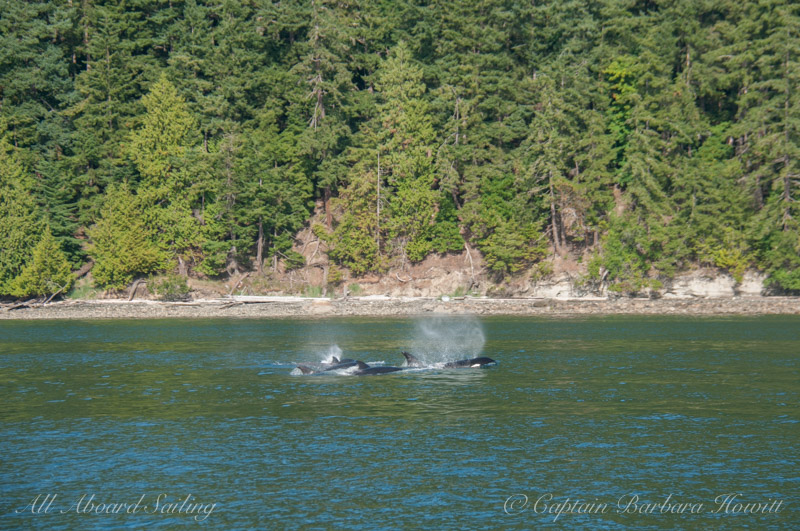 Transient Orcas T37As and 36s travel the West Side of Blakely Island in late afternoon light