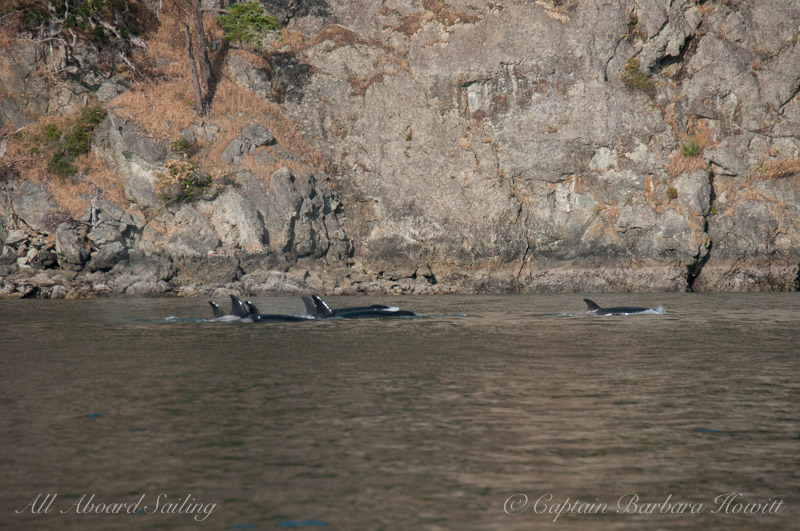Transient Orcas T37As and 36s travel the West Side of Blakely Island