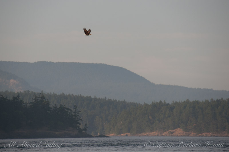 Bald Eagle Flies from Shaw Island