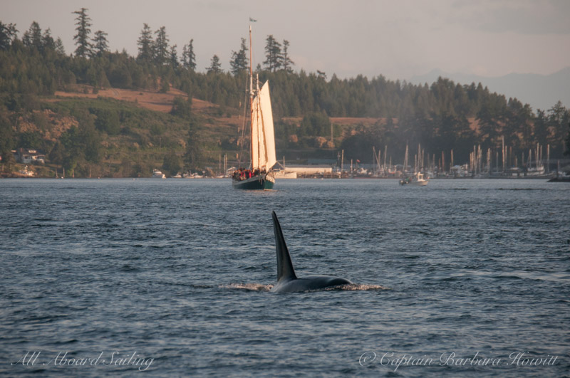 T49A1 Male transient Orca with Spike Africa and Shipyard Cove, FRIDAY HARBOR