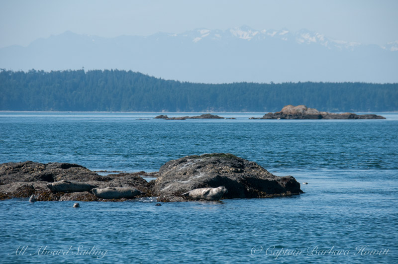 Harbor seal and Olympic Mountains
