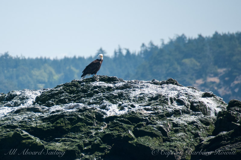 Bald eagle on Whale Rocks