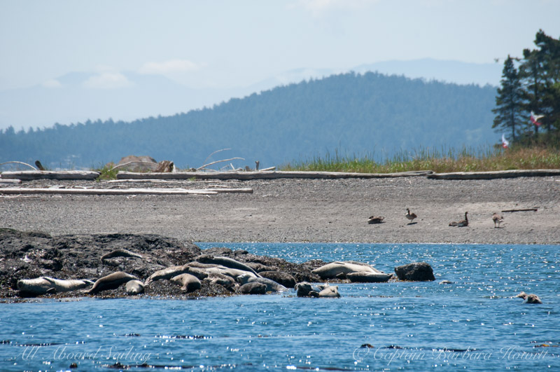 Harbor seals and Canada Geese