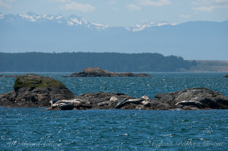 Harbor seals and Hurricane Ridge over Griffin Bay