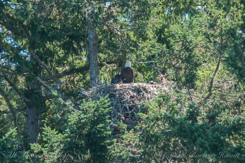 Bald Eagle with chick in nest