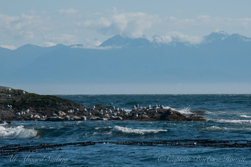 Harbor seals and brisk wind