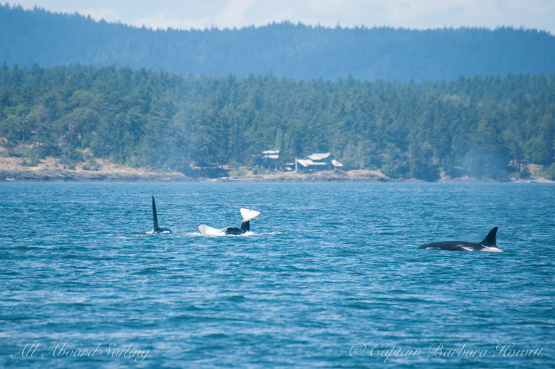 Transient orcas sharing a meal