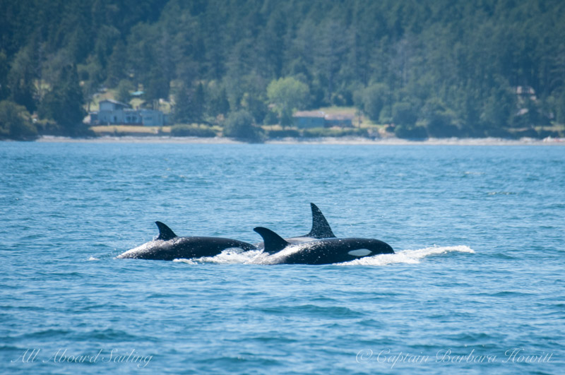 Transient orcas - Griffin Bay
