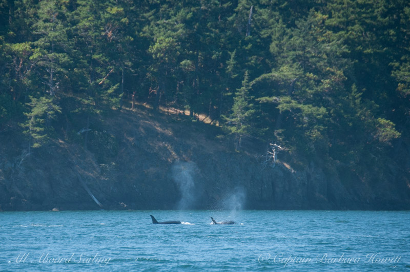 Orcas passing Turn Island