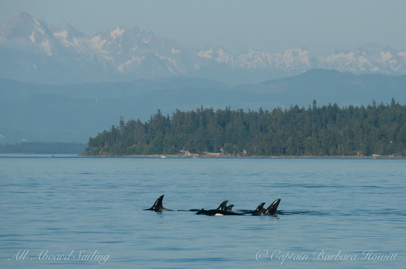 Orcas in a tight group