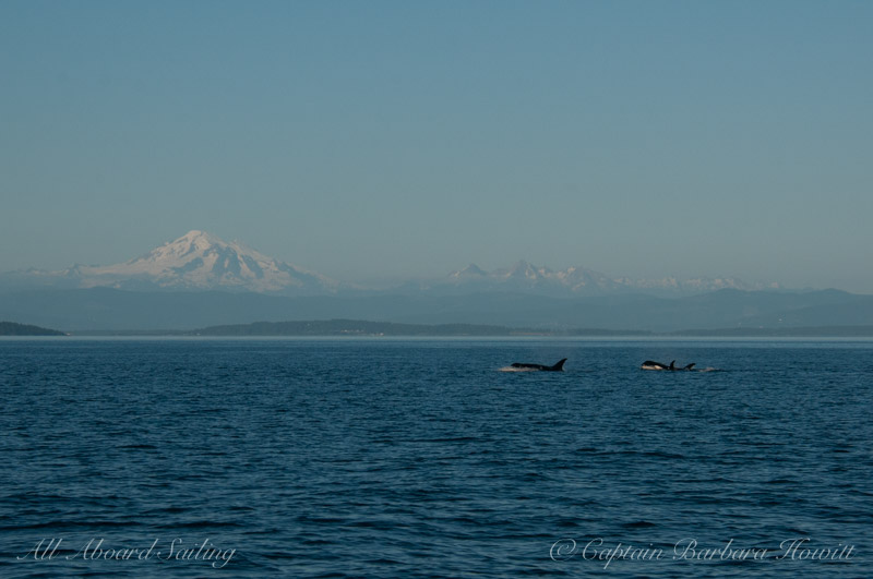Transient orcas with Mt Baker