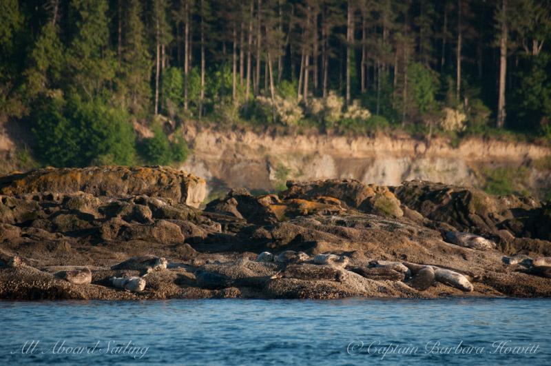 Harbor seals - Bare Island
