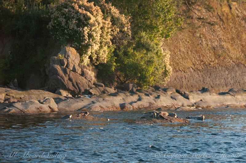 Harbor seals - Skipjack Island