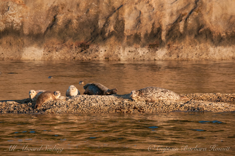 Harbor seals in the sun