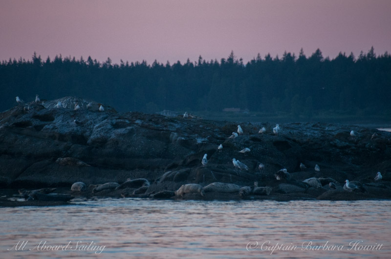 Harbor seals ready for bed