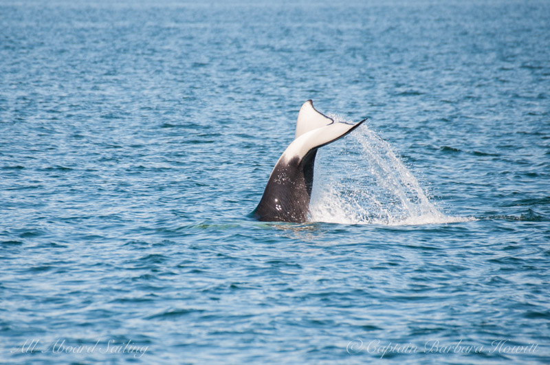 Orca tail flukes
