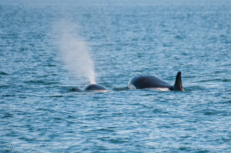 Orca with harbor seal in mouth